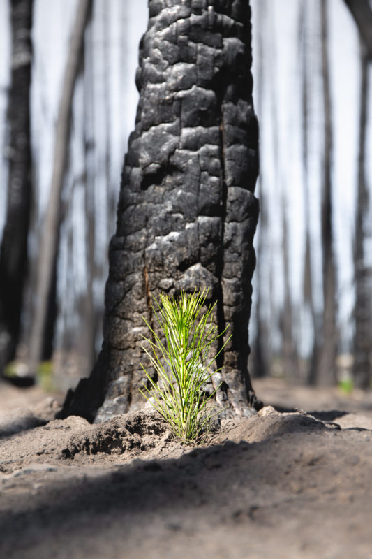 Reforestation shows a young healthy tree growing in front of a burnt tree