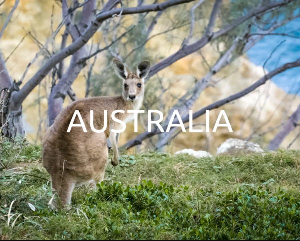 A cangaroo looking into the camera in an Aussie bush with white letters in front of it reading Australia