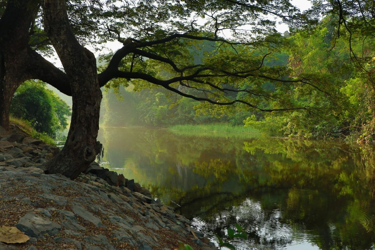 A beautiful tree next to a lake, with branches overhanging the lake being reflected in it.